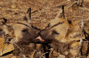African Wild Dogs, South Africa