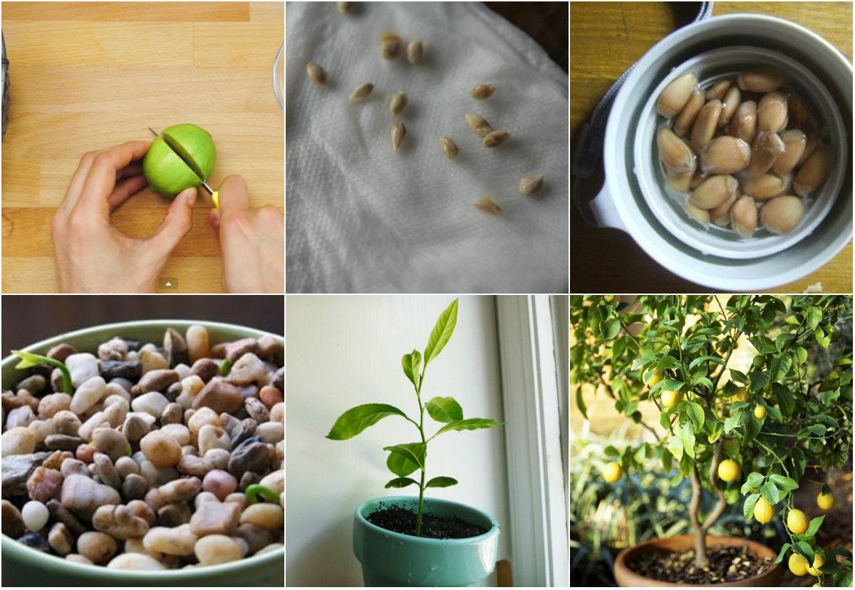 Mách bạn cách trồng chanh tại gia dễ như trở bàn tay - 1