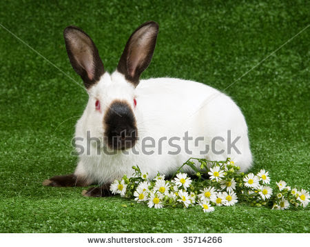 stock-photo-pretty-himalayan-bunny-eating-white-daisie-flowers-on-green-lawn-35714266.jpg