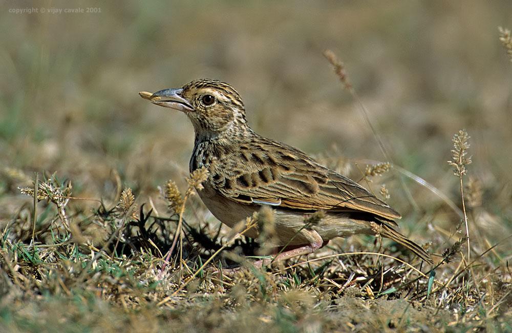 Jordan's Bushlark * Mirafra affinis * 14 cms