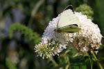 Stor kålsommerfugl - han på sommerfuglebusk.jpg