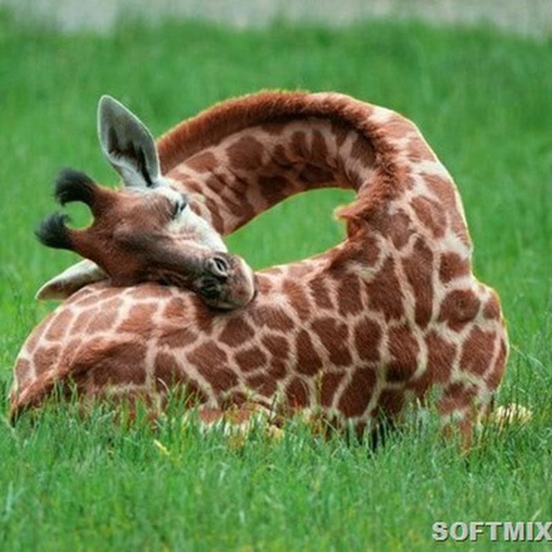 Любопытные факты о том, как спят животные