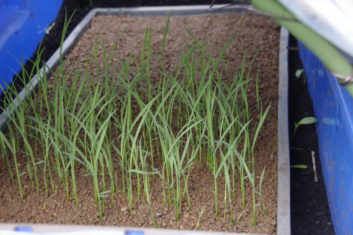 安渡復興米の苗