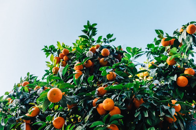 Fakta Jeruk Yang Menarik Untuk Menambah Wawasan 27 Fakta Jeruk Yang Menarik Untuk Menambah Wawasan