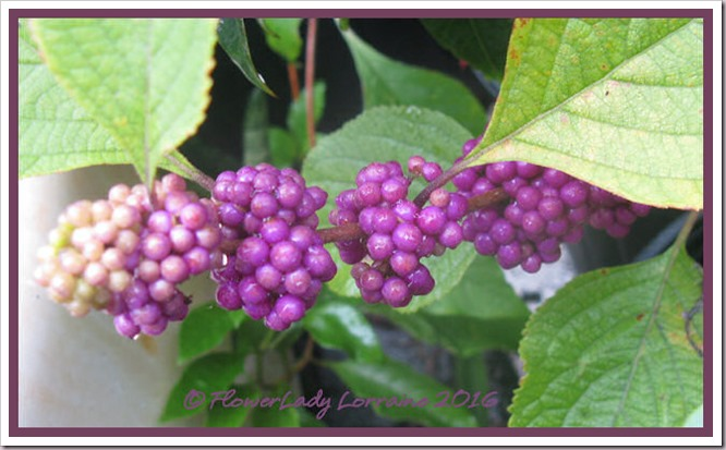 08-09-beautyberry