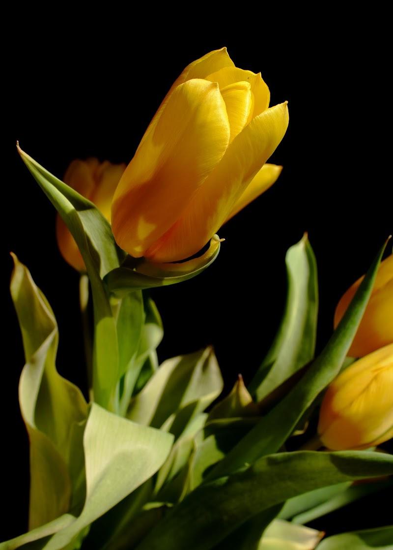 Tulipano di Anastasia