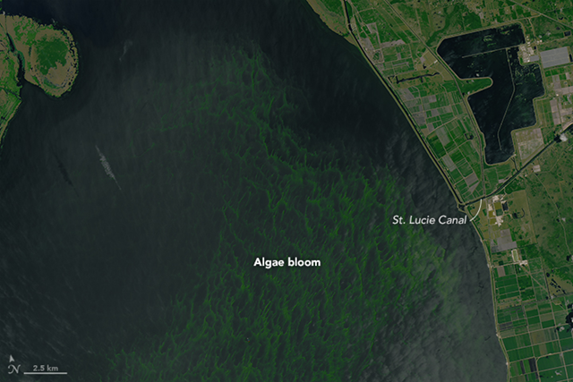 The blue-green algae bloom is visible in this image of Lake Okeechobee, acquired on 2 July 2016, by the Operational Land Imager (OLI) on the Landsat 8 satellite. Photo: Joshua Stevens / NASA Earth Observatory