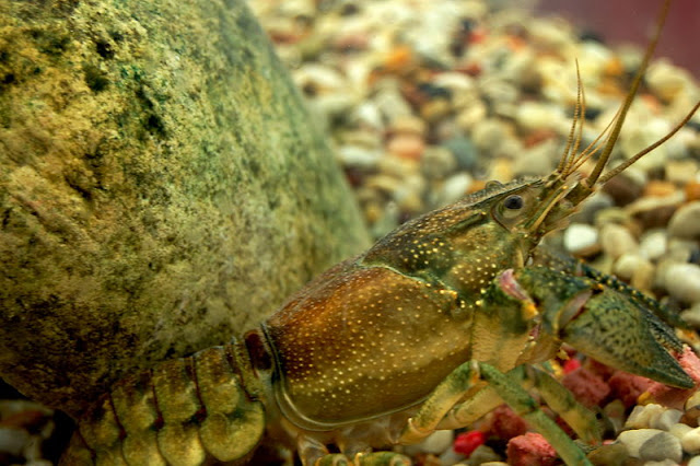 Rusty Crayfish (note rust on top and side of thorax)