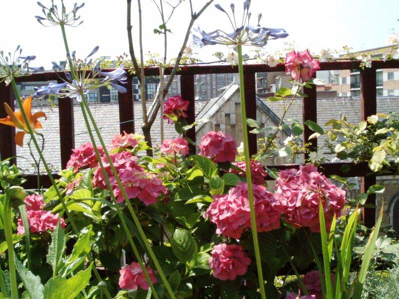 El jardinero urbano hydrangea paniculata una hortensia - Poda de hortensias en maceta ...