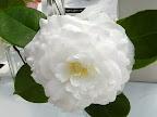 白色 千重咲き 大輪