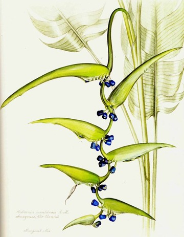 heliconia cartacea