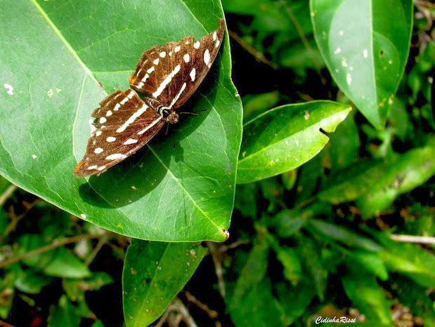 Catonephele acontius acontius (L., 1771), femelle. Colider (Mato Grosso, Brésil), 28 avril 2012. Photo : Cidinha Rissi