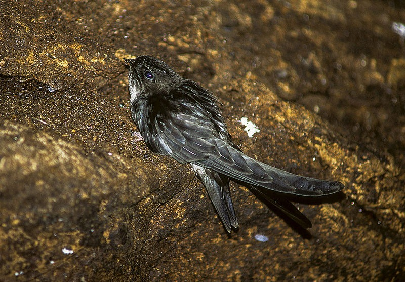 glossy-swiftlet