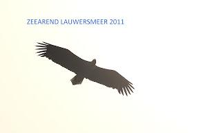 Zeearend lauwermeergebied 2011 (12).jpg