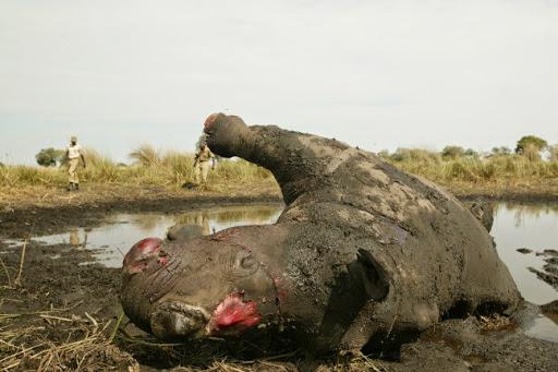 Rhino, horn removed. Photo Beverly Joubert