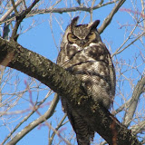 Great Horned Owl - Fleming Campus in Peterborough