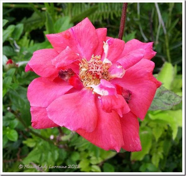 10-11-rose