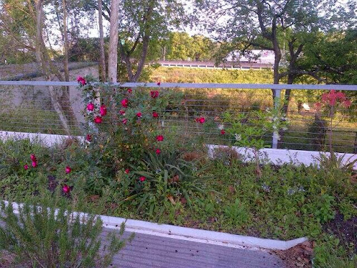Florida Green Roof antique roses
