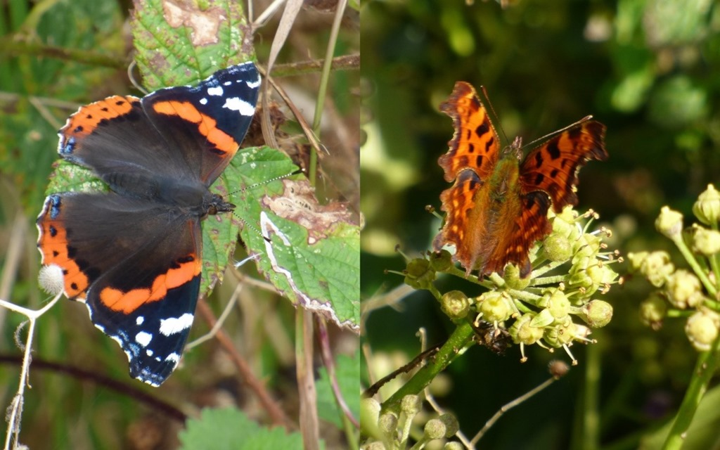 [Red+Admiral+and+Comma%5B3%5D]
