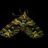 Geometridae : Larentiinae : Xanthorhoini : probablement Chrysolarentia severata GUENÉE, 1857. Umina Beach (NSW, Australie), 9 novembre 2011. Photo : Barbara Kedzierski