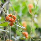 Morinda parvifolia 雞眼藤