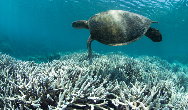 A turtle swimming over bleached coral near Heron Island, in the southern Great Barrier Reef. Photo: XL Catlin Seaview Survey