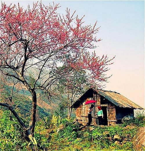 mua hoa dao no o ha giang3 Mùa hoa đào nở ở Hà Giang