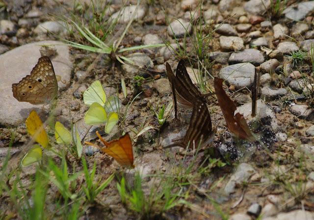 Anartia jatrophae jatrophae (Linnaeus, 1763), Pyrisitia venusta venusta (Boisduval, 1836), Eurema elathea vitellina (C. Felder & R. Felder, 1861) et Marpesia sp.  Finca La Graciela, 239 m (Tamarindo, Casanare, Colombie), 5 novembre 2015. Photo : J.-M. Gayman