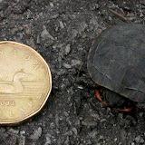 Baby Painted Turtle beside loonie