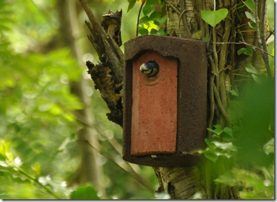 Blue Tit in nest box at Cleaver Heath