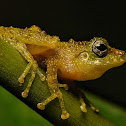 Covert Bush Frog
