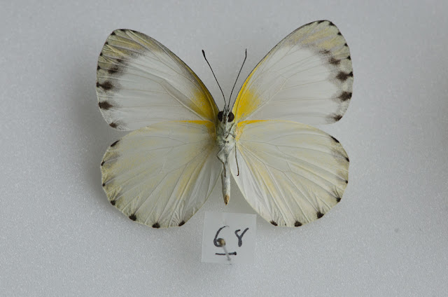 Appias phaola phaola (DOUBLEDAY, 1847), femelle, verso. Ebogo (Cameroun), avril 2013. Coll. et photo : C. Basset
