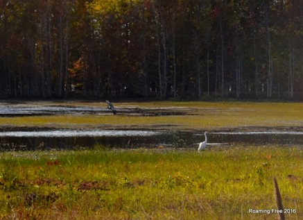 A Great Egret and Great Blue Heron