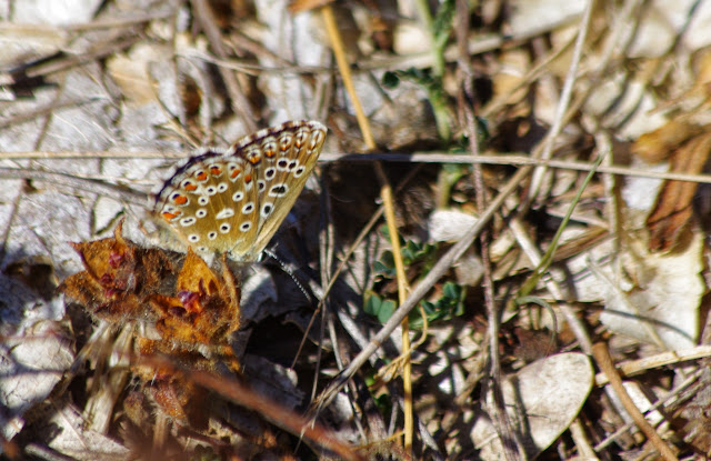 Polyommatus bellargus Rottemburg, 1775, femelle. Bages (Pyrénées orientales), 17 août 2014. Photo : J.-M. Gayman