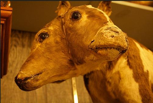 Unik! Ternyata Manusia Setengah Hewan Itu Benar-Benar Ada, Lihat Saja di Marsh's Free Museum Ini