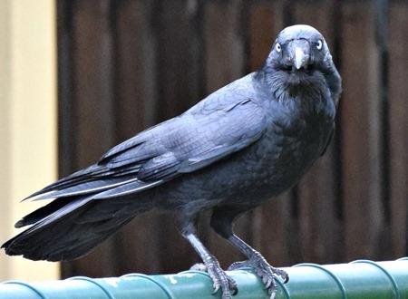 raven 3