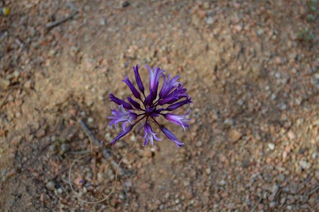 purple sphere of flowers