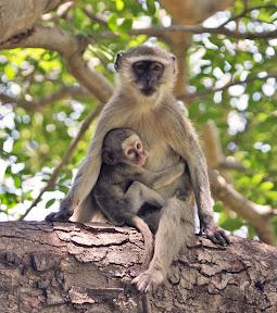 Vervet Female and Baby, Botswana