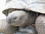 Aldabrachelys_gigantea_-La_Digue_Island,_Seychelles-8_(2).jpg