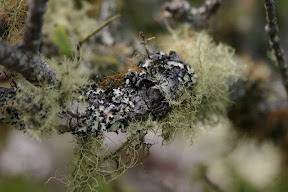 Volcanic moss-covered branch