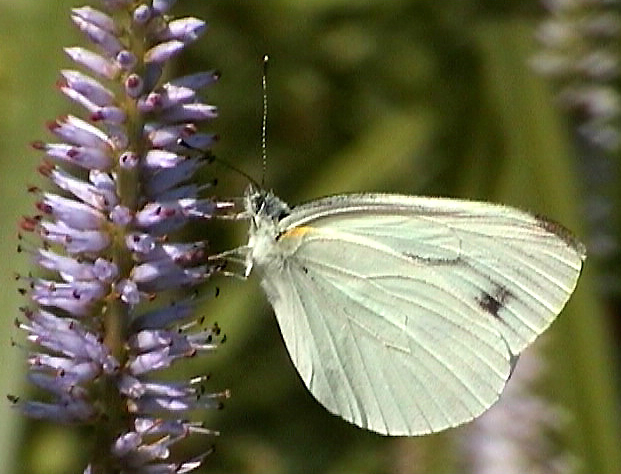 Pieris dulcinea dulcinea BUTLER, 1882 - Monts Sinyi. Photo : N. N. Balatskij