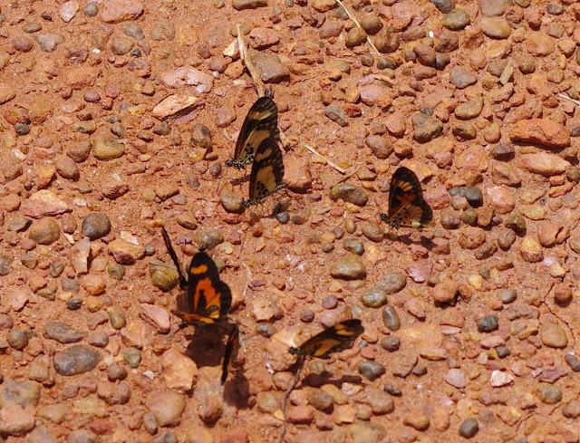 Acraea bonasia bonasia FABRICIUS, 1775 et Acraea acerata HEWITSON, 1874 (à droite). Piste vers Ebogo (Cameroun), 8 avril 2012. Photo : J.-M. Gayman