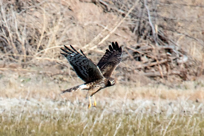 Northern Harrier Female