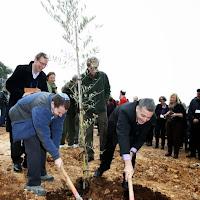 שתילת עץ זית. Planting an olive tree.