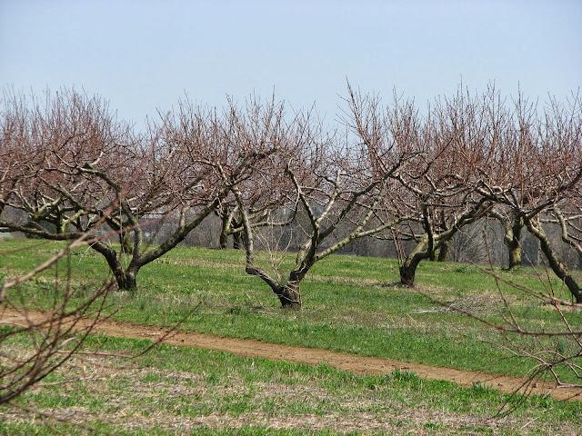 Impariamo quando e come potare gli alberi da frutto for Quando piantare alberi da frutto