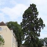 Place Robert Brault : séquoia centenaire