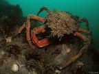 Crab: spider crab
