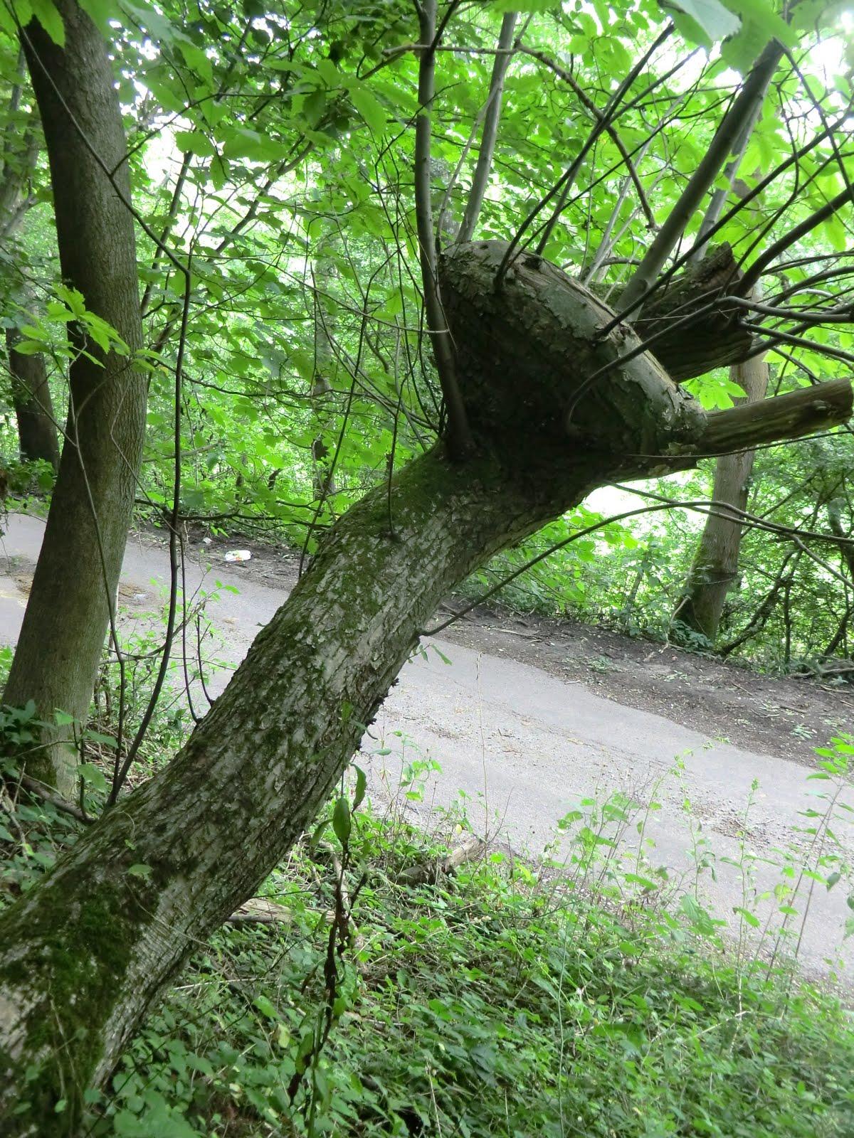 CIMG4223 Knotted tree on Tandridge Hill Lane