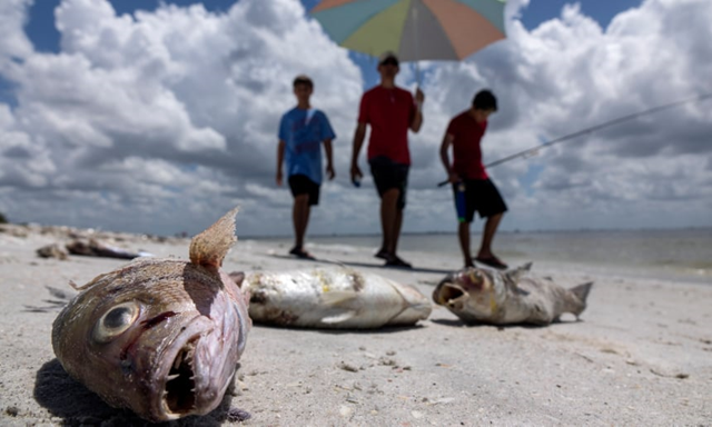 Fish washed up after dying in a red tide in Captiva, Florida. Photo: Cristobal Herrera / EPA