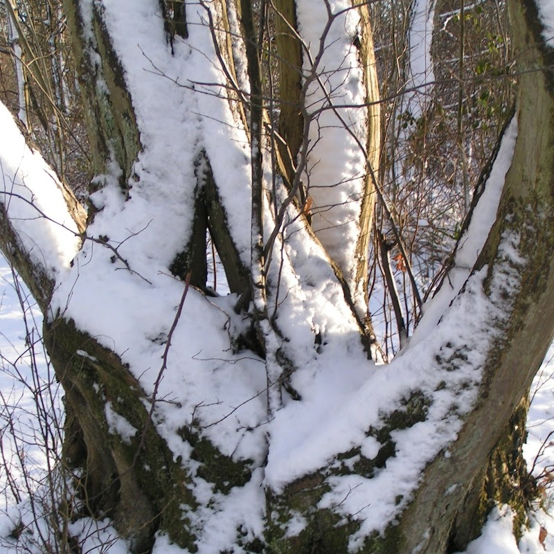 Tattenhoe_15 Snowy Trees.jpg